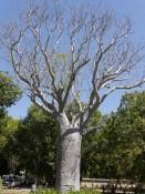 Baob-Baum