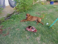 Haushund Loulou