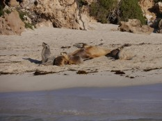 Seelöweninsel