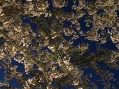 Kirschblüte bei Nacht - morgen mehr ;)