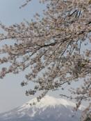 Kirschbaum mit Mt. Iwaki