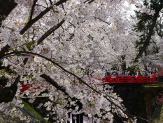 Kirschbaum und rote Brücke