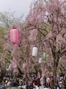 Hanami - Kirschblüten betrachten