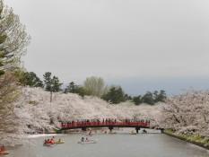 Kirschblüten am Wasser