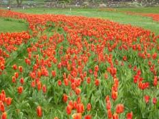 Tulpenrasen - Tulips