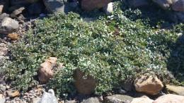 Eine meiner Versuchspflanzen - One of my plants for the experiment
