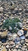 Die Hauptversuchspflanze - the main experimental plant