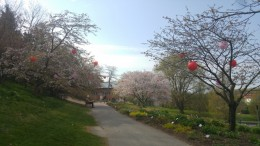 The Botanic Garden preparing for Hanami