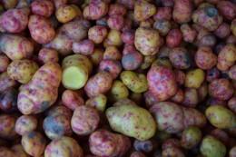 Papalisa - Kartoffelsorte