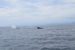 Die Wale von weitem