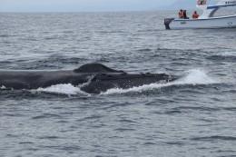 Der Kopf eines Buckelwals
