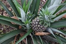 Ananas - Piña