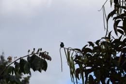 Kolibri - Colibrí