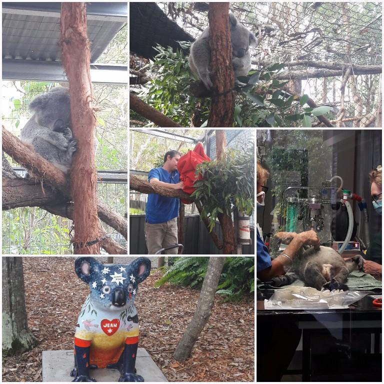 Die Betäubung des Koalas!