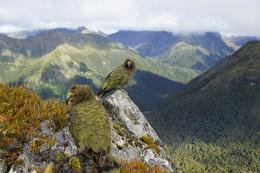 oben konnte man viele Keas (Papageien) entdecken!