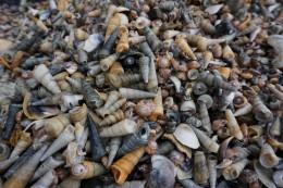 Ich dachte ja, der Shell Beach wäre in Westaustralien...aber das, was hier den Sand bedeckt, sind wirklich ausschließlich Muscheln und Wasserschnecken aller Art...faszinierend!