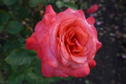 Einen Rosengarten gab es natürlich auch...