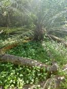 Schlangen-Palme