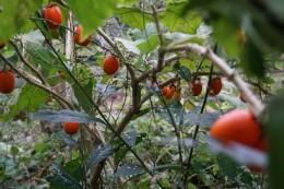 Tomatenpflanze mit reifen Früchten. Es is lustig, dass hier überall irgendwas wächst und nicht selten sagt man: Oh, noch eine Tomate :D