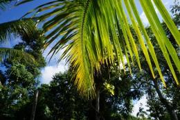 Kokosnødpalmeblad / Kokosnusspalmenblatt / Leave of a watercoconutpalm