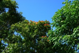 The tree with the flowers is called: King of the forest