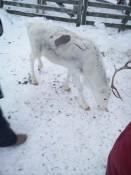 Rudolf ist auch in weiß erhältlich