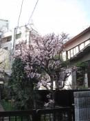 Unterwegs ist uns der Frühling begegnet. Einer der ersten Kirschbäume, der Blüten trägt.