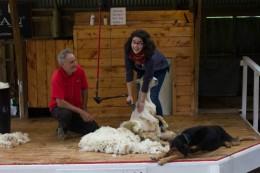 Chris schert ein Schaf