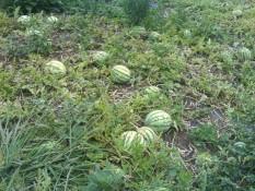 verstreute Wassermelonen