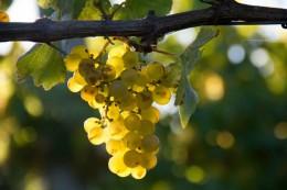 Wunderschöne Trauben im goldenen Sonnenlicht