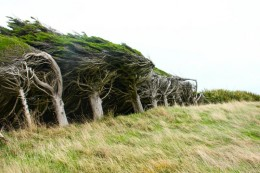 windswept trees