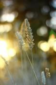 Ein stimmungsvolles Weizenteil in der Morgensonne