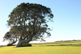 Zwei Pohutukawa-Bäume