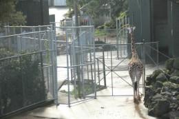 Giraffen wollen nicht im Zoo sein