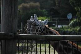 Die große Giraffe hat Hunger-seelenverwandt