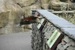 Ein Kea fliegt davon