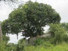Ein uralter Feigenbaum