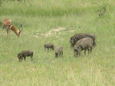 Familie Warzenschwein
