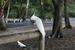 Die Australische Taube
