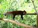 Roter Panda-Langweiler des Waldes