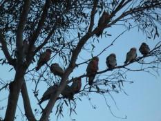 Ganze Horden an Papageien auf dem Campingplatz