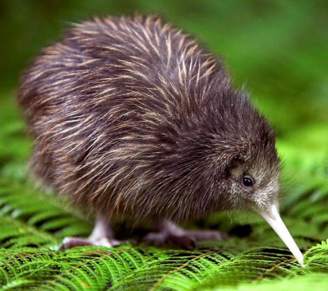 Ein Kiwi! ;)
