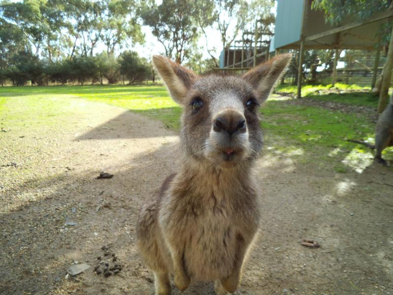 Die erste Begegnung mit einem grauen Känguru