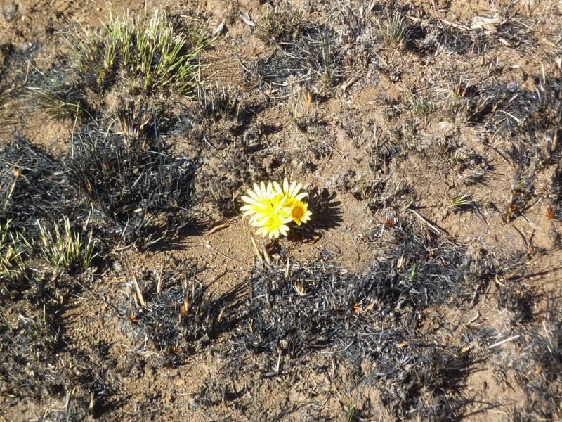 Eine Blume mitten im unter Aufsicht abgebrannten Gebiet