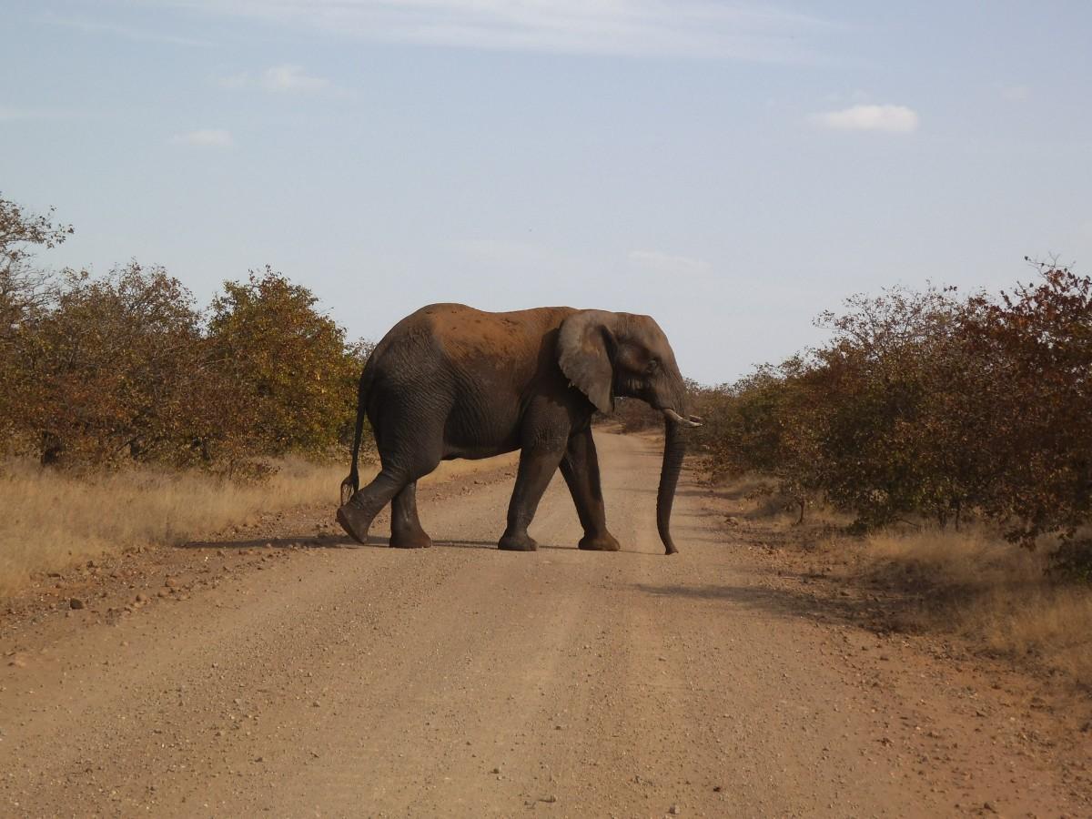 Ein letzter Elefant, der gemächlich die Straße vor unserem Auto überquert
