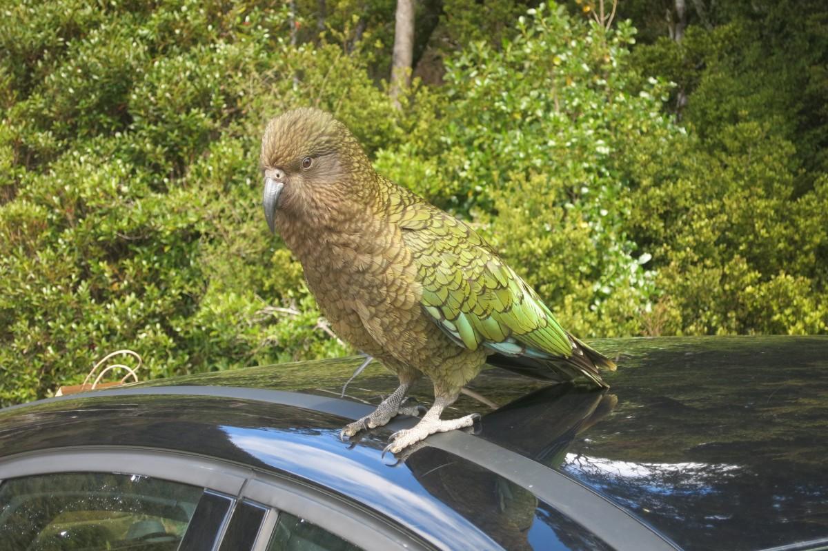 Ein Kea (alpiner Papagei) auf unserem Auto - hochintelligente Mistviecher! Aber toll sehen sie aus!