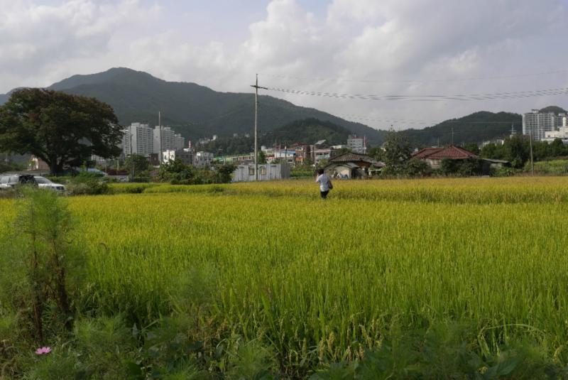 Ganz typisch: Reisfeld und KLeinst-Stadt, Korea eben.
