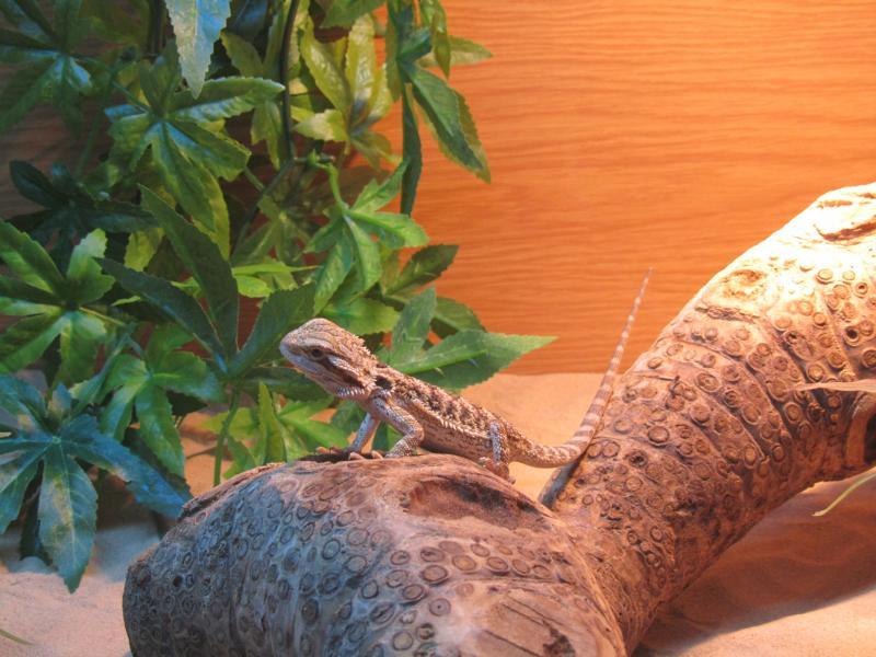 The new Flatmate-Lizard
