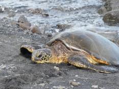 freilebende Schildkröten am black sand beach