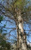 mehr als 500 Jahre alter Leopold-Tree